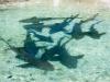 Mitsegeln Karibik: Haie im Becken auf Union Island